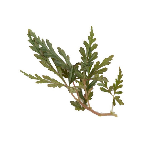 Begonia polliloensis