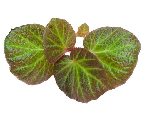 Begonia 'Manaus'