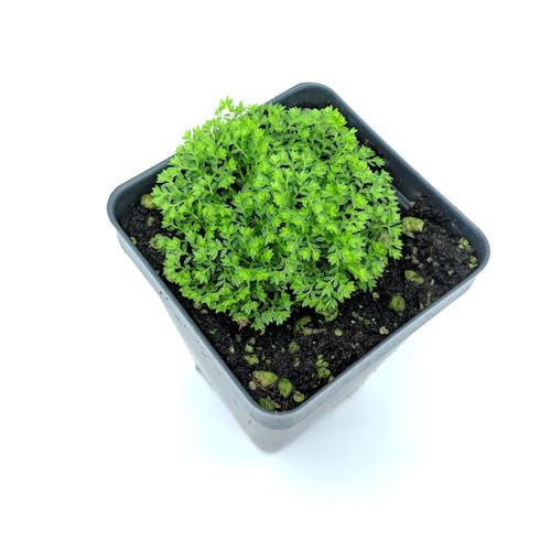 Selaginella kraussiana var. brownii