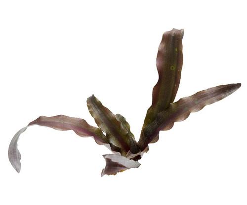 Cryptanthus 'Cinnibar'