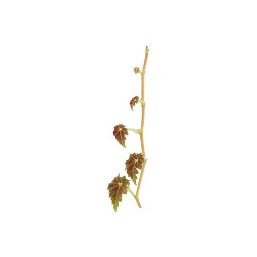 Begonia sp. 'Maldonado'