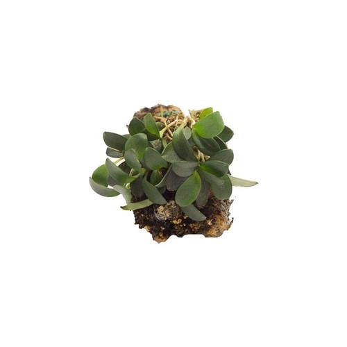 Pleurothallis grobyi 'Small'