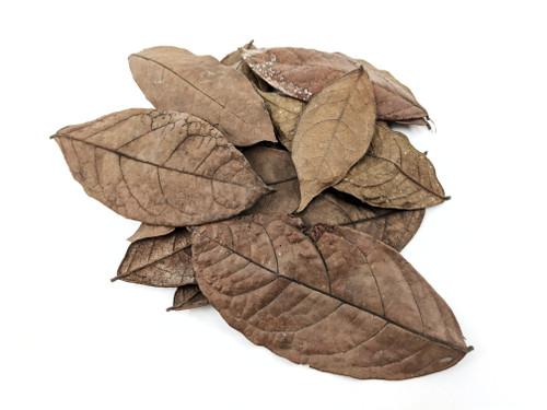 Peruvian Jungle Araza Leaf Litter