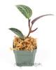 Geogenanthus poeppigii