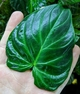 Philodendron verrucosum 'Mini'