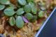 Pleurothallis microphylla