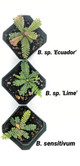 Biophytum sp. Ecuador
