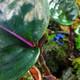 Geogenanthus ciliatus