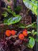 Pearcea hypocyrtiflora flowering