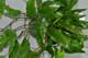 Davallia heterophylla