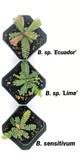 Biophytum sp. Lime