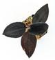 Prescotia maculata