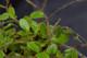 Pyrrosia nummularifolia