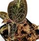 Anoectochilus burmannicus