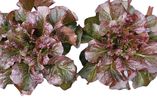 Known-You Seed Lettuce Chloe Red 5g