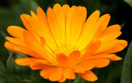 Calendula: Cuts and Scrapes Are No Match