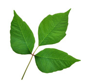Homeopathy for Poison Ivy and Poison Oak