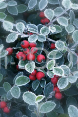 Holiday Christmas Theme Cleaning Cloth, Berries Of Ilex