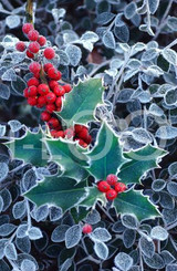 Holiday Christmas Theme Cleaning Cloth, Evergreen Holly