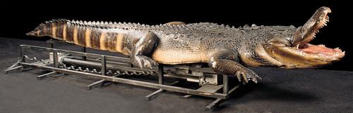 Attack Alligator