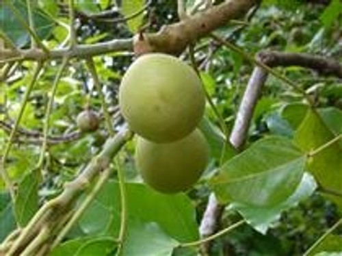 100% Kukui Nut Oil (Aleurites Moluccana) 4 oz