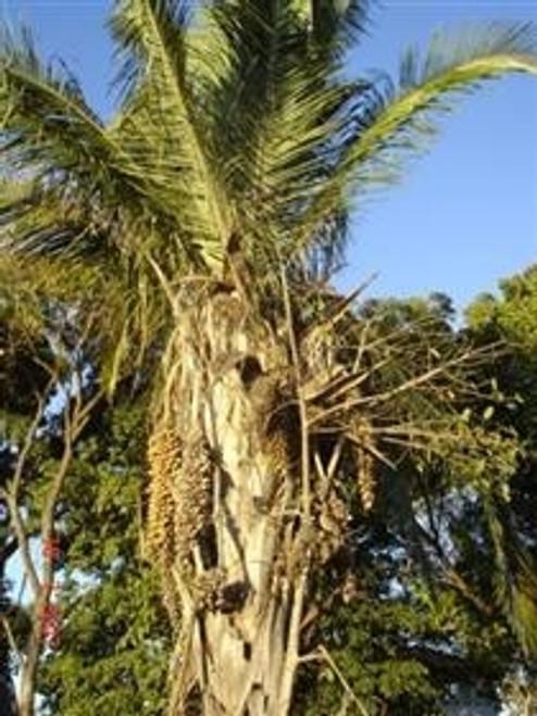 100% Organic Babassu Oil (Orbignya Oleifera) - For Healthy Skin & Hair 4 oz