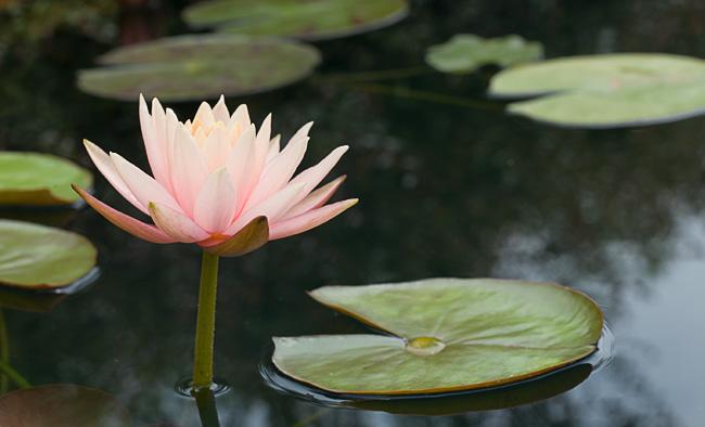 colorado-waterlily-profile.jpga.jpg