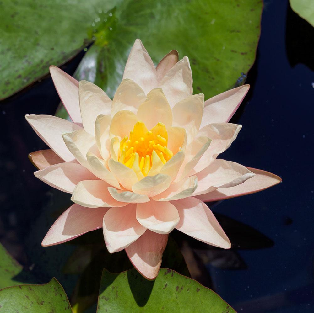peachglow-waterlily.jpga.jpg