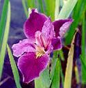 red-louisiana-iris.jpg