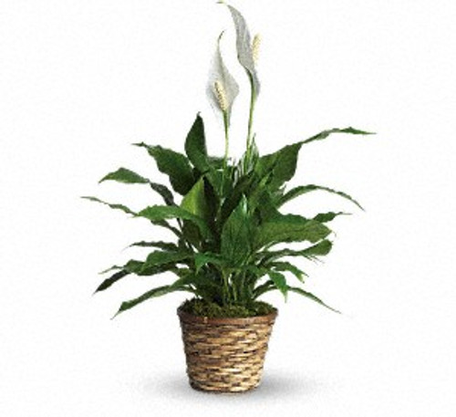 Simply Elegant Spathiphyllum