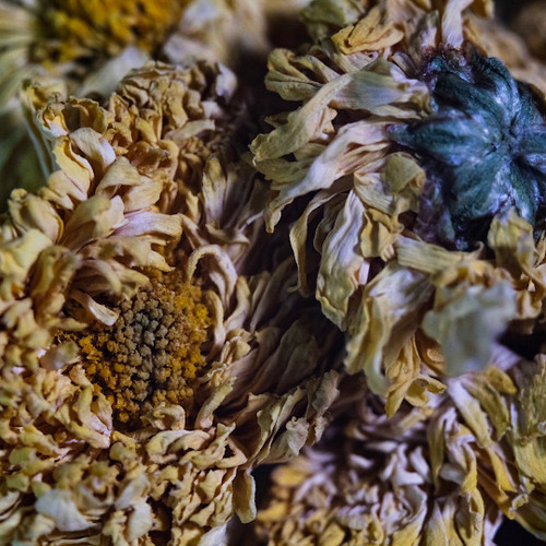 30g Yellow Chrysanthemum 黄菊花