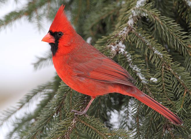 CC200 - Crimson Cardinal