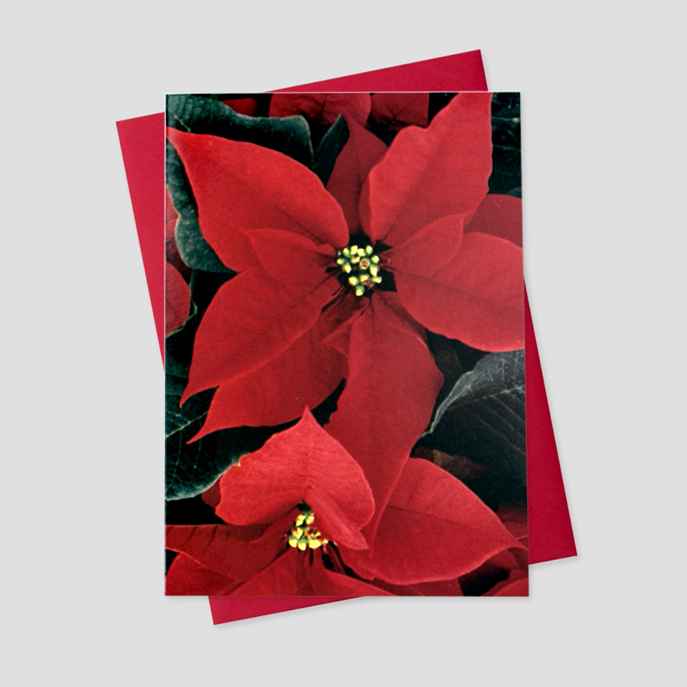 Business Holiday card featuring the iconic flower of the season; beautiful and bold poinsettias