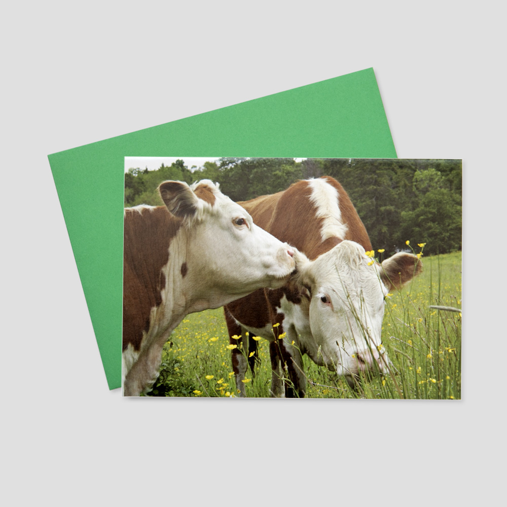 Keep in touch greeting card featuring a cow whispering into another cow's ear in a field of green grass and clovers
