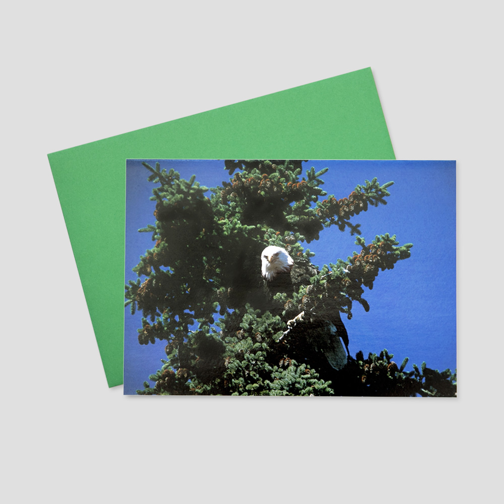 Business Patriotic greeting card featuring a bald eagle perched high in a fir tree on a sunny day