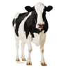 Life-size Cow Cardboard Standup