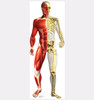 Anatomy - Half Muscle Half Skeleton - Cardboard Cutout Front View