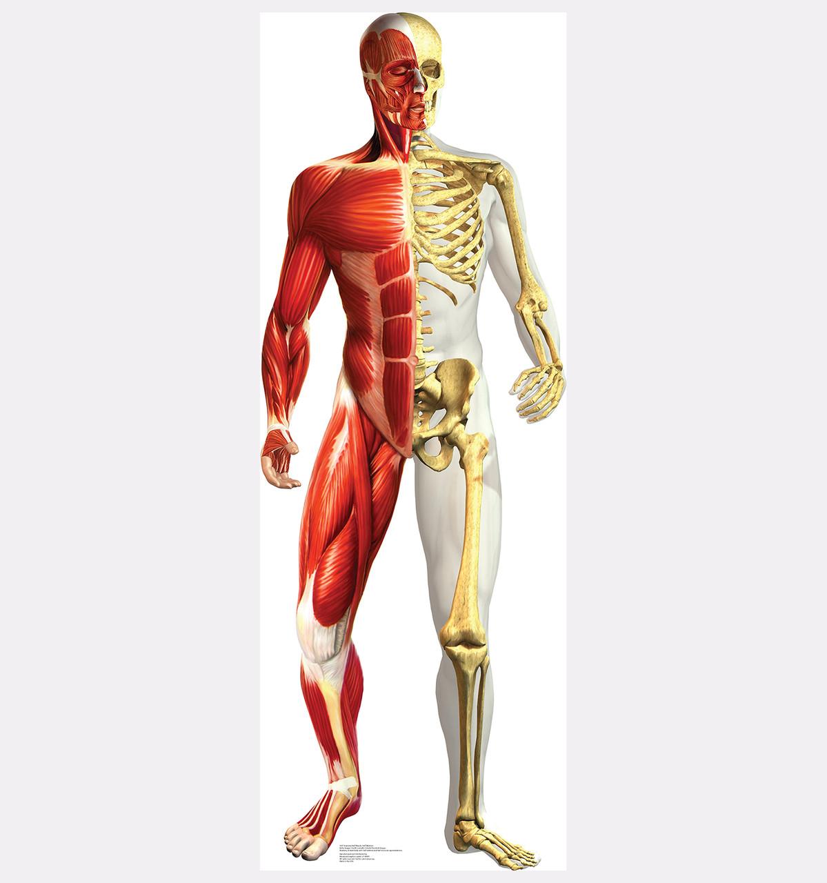 Anatomy - Half Muscle Half Skeleton - Cardboard Cutout Front View