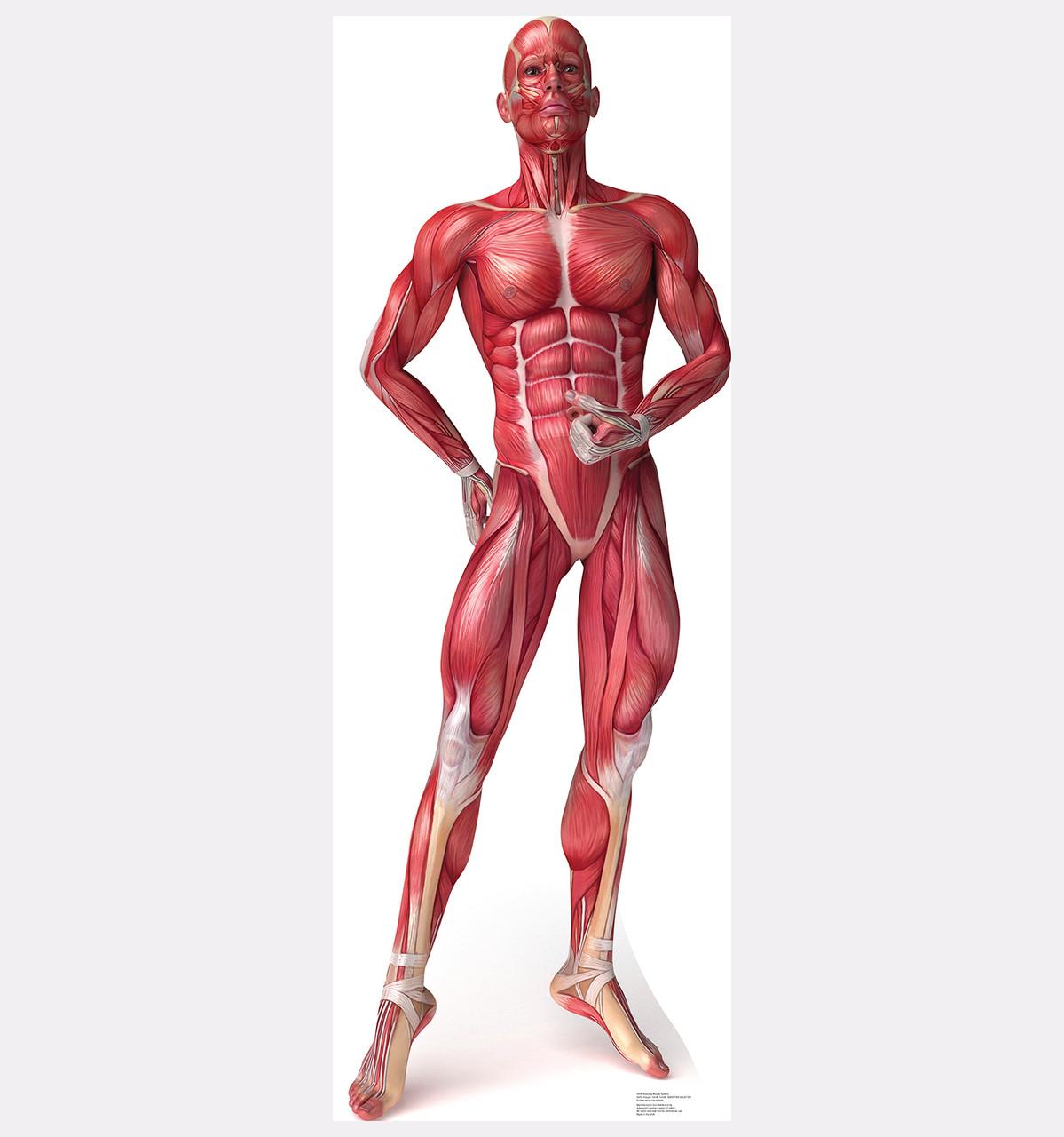 Life Size Muscle System Anatomy Cardboard Standup Cardboard Cutout
