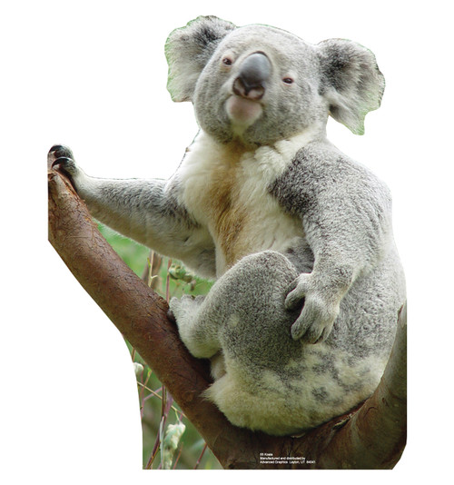 Life-size Koala Bear Cardboard Standup | Cardboard Cutout