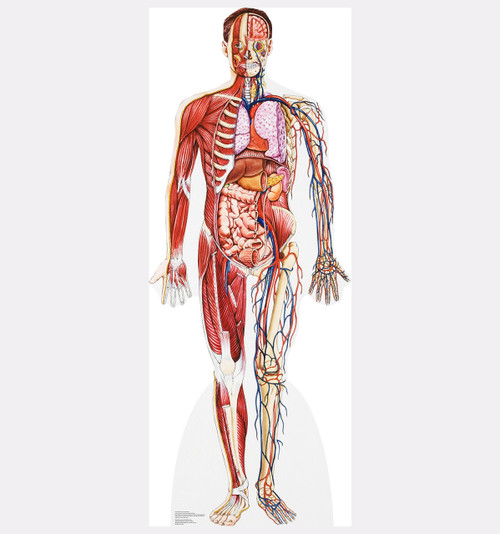 Life-size Anatomy - Cross Section Cardboard Standup