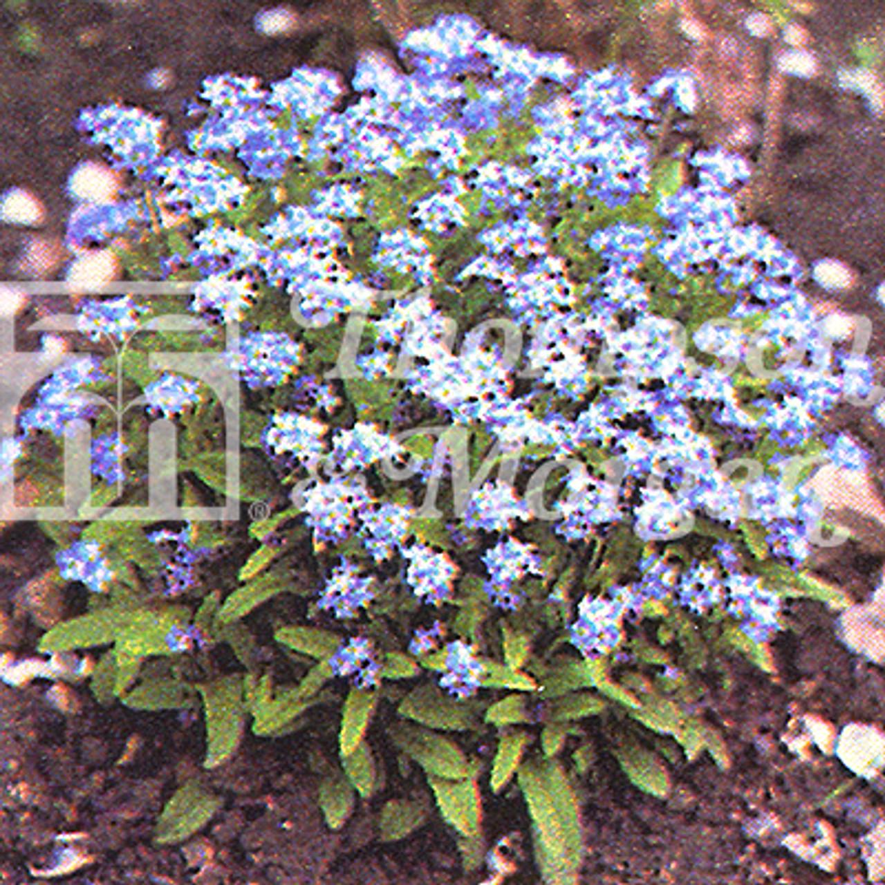 Forget Me Not Blue Ball Myosotis Mr Middleton Garden Shop
