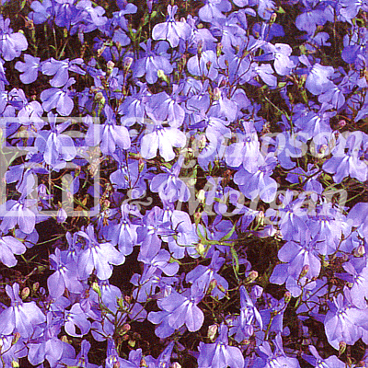 Lobelia Trailing Blue Cascade Mr Middleton Garden Shop