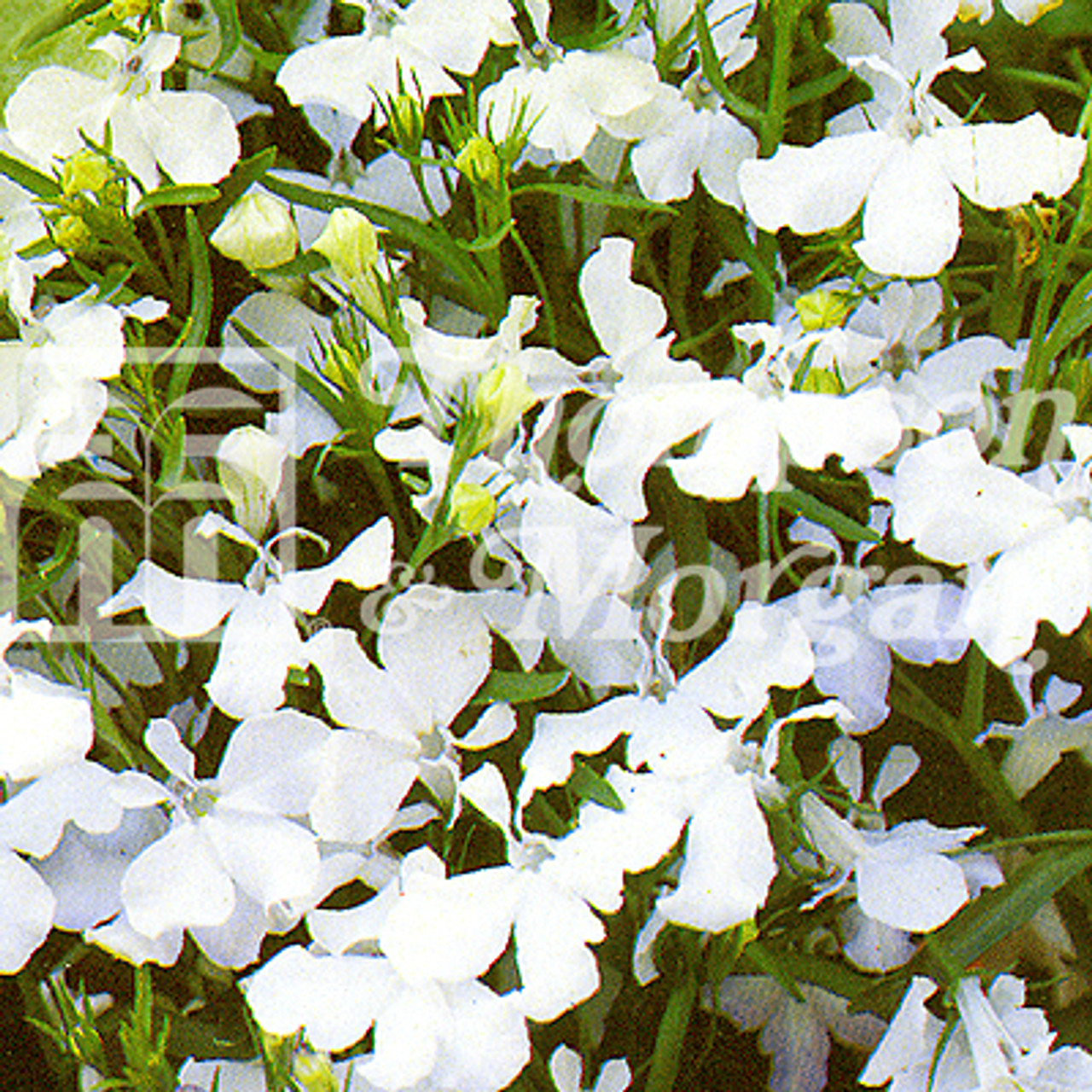 Lobelia Trailing White Cascade Mr Middleton Garden Shop