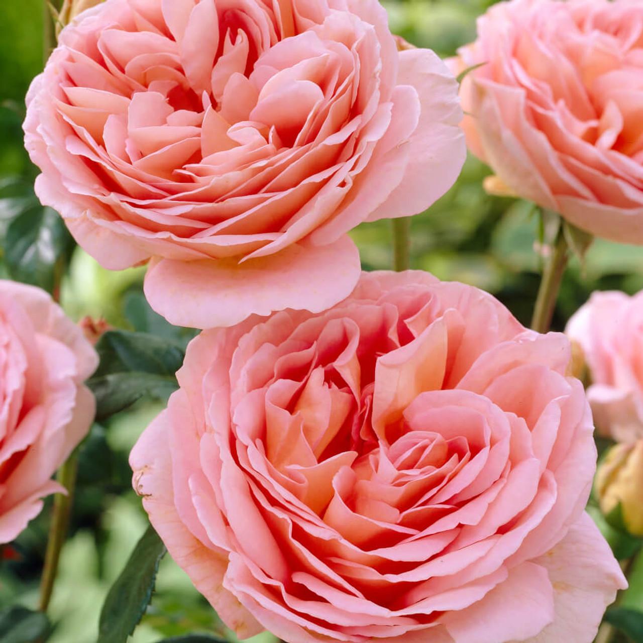 Результат пошуку зображень за запитом abraham darby rose