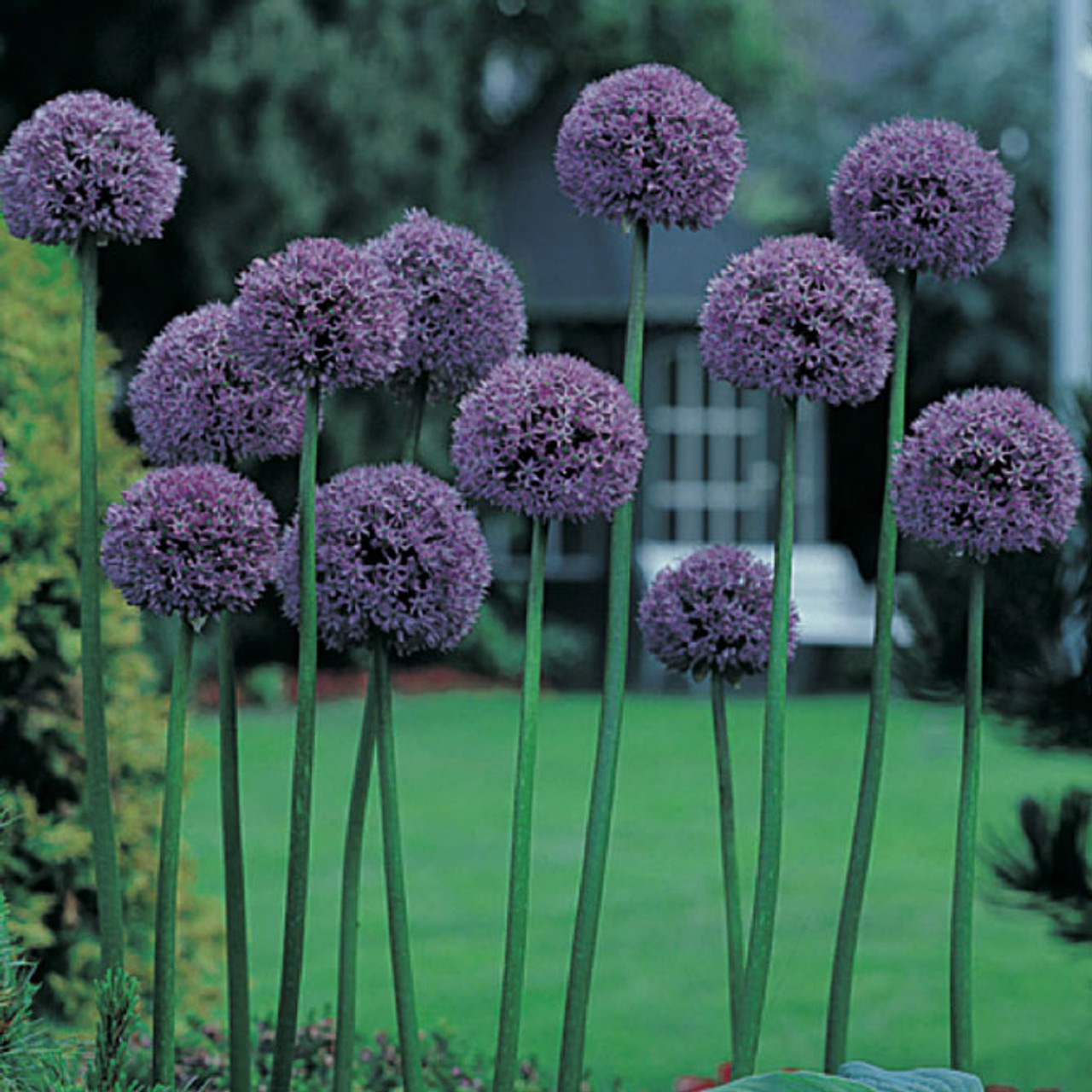 Allium Gladiator Mr Middleton Garden Shop