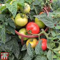 8 Seeds Thompson /& Morgan Vegetable Tomato Sweet Success
