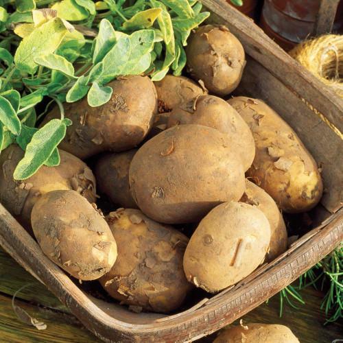 Maris Piper Potato Seeds