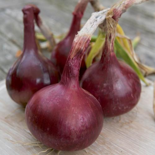 Onion Red Barron
