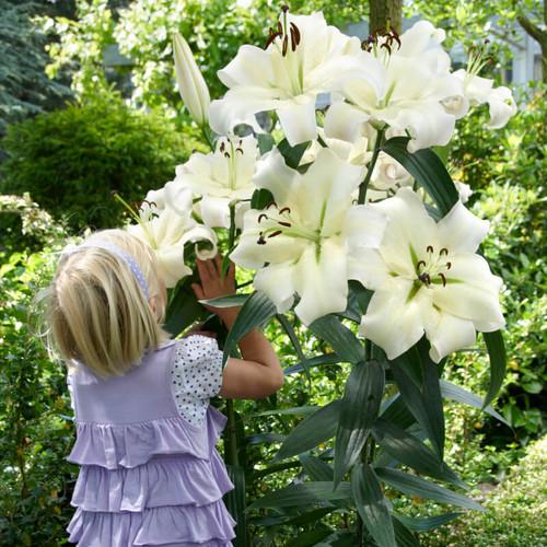 Orienpet Lily Pretty Woman